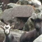Kozice górskie, Glendalough